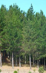 NZ Forestry